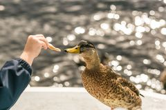 Close up photo oа the duck Royalty Free Stock Image