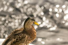 Close up photo oа the duck Stock Images