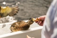 Close up photo oа the duck Royalty Free Stock Photo