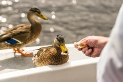 Close up photo oа the duck Royalty Free Stock Photos