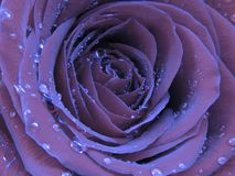 Free Close Up Photo Of A Blooming Rose Covered With Brilliant Shiny Water Rain Dew Drops. Stock Photos - 164951443
