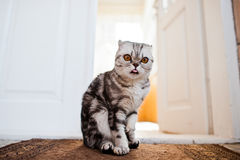 Free Close-up Photo Of A Scottish Fold Kitten. Stock Images - 98191924