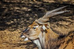 Free Close Up Photo Of Giant Eland, Known As The Lord Derby Eland In The Bandia Reserve, Senegal. It Is Wildilfe Photo Of Animal In Stock Photography - 147763322