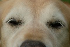 Close Up of Old Golden Retriever Dog Eyes Royalty Free Stock Photography