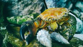 Close Up Photo of Orange Black and Gray Crab Nearby Gray Pebbles Stock Images