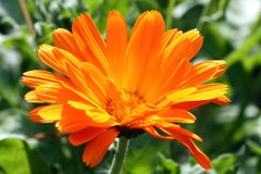 Field Marigold - Calendula Flower - close up royalty free stock images