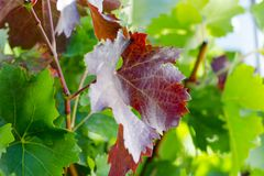 Close-up photo of orange and green leaves of vineyard in autumn Royalty Free Stock Photo