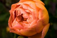 Close Up Photo of Orange Petaled Rose stock image