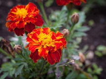 Close-up photo of orange Tagetes flower. Royalty Free Stock Photography