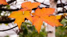 Close-up photo of orange/yellow maple leaves stock photography