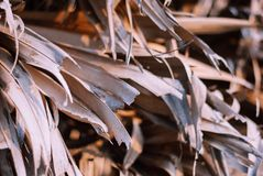 Close up photo of palm tree dry leaves receiving evening light royalty free stock photos