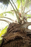Close-up photo of palm tree trunk taken in Colombo Royalty Free Stock Photos