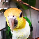 Close-up Photo of a Parakeet Bird Royalty Free Stock Photo