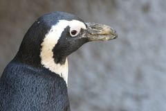 Close-up Photo of Penguin Stock Images