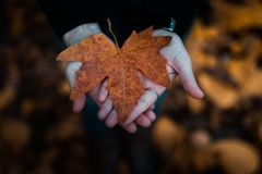 Close-Up Photo of Person Holding Maple Leaf royalty free stock image