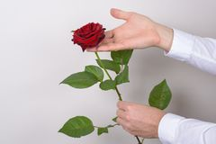 Close up photo picture of charming pretty big large rose flower in man`s hand isolated over gray background.  royalty free stock image