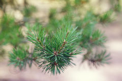 Close up photo of pine branch Royalty Free Stock Photos