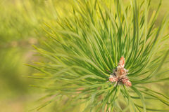 Close-up photo of pine branch. Fir tree branch close-up on defocused green background Stock Photography