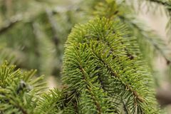 A pine tree branches in close up. A close up photo of pine tree branches Royalty Free Stock Photos