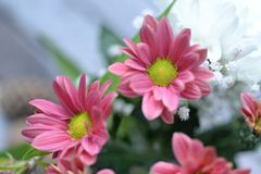 Close-up Photo of Pink Gazania Flower Stock Image