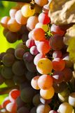 Close-up photo of a pink grape vine in a vineyard between green. Leaves in autumn Stock Images