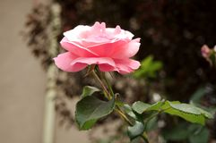 Close up photo of Pink Rose flower royalty free stock image