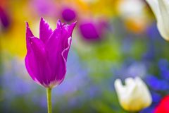 Close up photo of Pink violet tulip, macro shot of bud in garden. It is beautiful nature background with flower and blurred. Background. There is spring time royalty free stock image