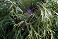 Close up photo of Platycerium leaves. Staghorn fern Stock Image