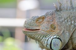 Close-up photo portrait of a big lizard reptiles Iguana Stock Photo