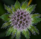 Close Up Photo of Purple Flower With Dew Royalty Free Stock Photo