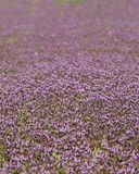 Close up photo of purple flowers that cover the ground. Small flowers make up beautiful ground cover Royalty Free Stock Photo