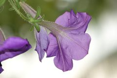 Close Up Photo of Purple Morning Glory Flower royalty free stock photography