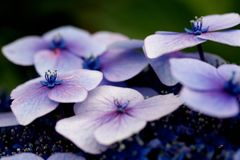 Close Up Photo Purple and Pink Flower Royalty Free Stock Images