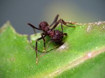 Red ant cutting a leaf. Close up photo of a red ant cutting a leaf in Cordoba, Argentina stock photo