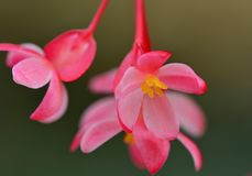 Close-up photo of red begonia flowers; soft but bright colours; yellow center of the flowers royalty free stock photo