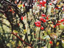 Close-up Photo of Red Berries royalty free stock photography