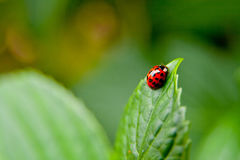 Close Up Photo of Red and Black Beetle Bug Royalty Free Stock Image