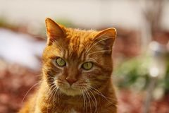 Close up photo of red cat with yellow eyes looking straight towards camera. Stock Photo
