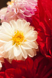 Close up photo of a red dahlia flower Royalty Free Stock Image