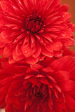 Close up photo of a red dahlia flower Stock Image