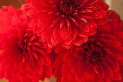 Close up photo of a red dahlia flower Stock Photography