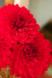 Close up photo of a red dahlia flower Royalty Free Stock Photo