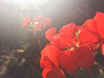 Close-up photo of red geranium at sunny day. Beautiful close-up photo of red geranium at sunny day stock photos