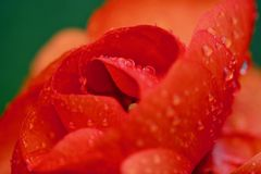 Close up photo of a red-orange ranunculus flower. Vivid red-orange colours; rain drops; unusual point of view; abstract qualities of the image royalty free stock images