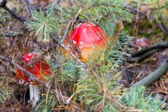 Close-up photo of red toadstool with white dots between needle a. Nd moss in forest in autumn or summer - blurred background Stock Photos