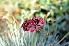Close Up Photo of Red and White Petaled Flower Royalty Free Stock Images