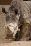A close up photo of a rhino's head, horn and eye Stock Image