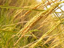 Close Up Photo of Rice Grains during Daytime Royalty Free Stock Photos