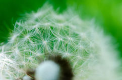 Close-up photo of ripe dandelion. The background Stock Images