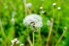 Close-up photo of ripe dandelion. The background Stock Photo